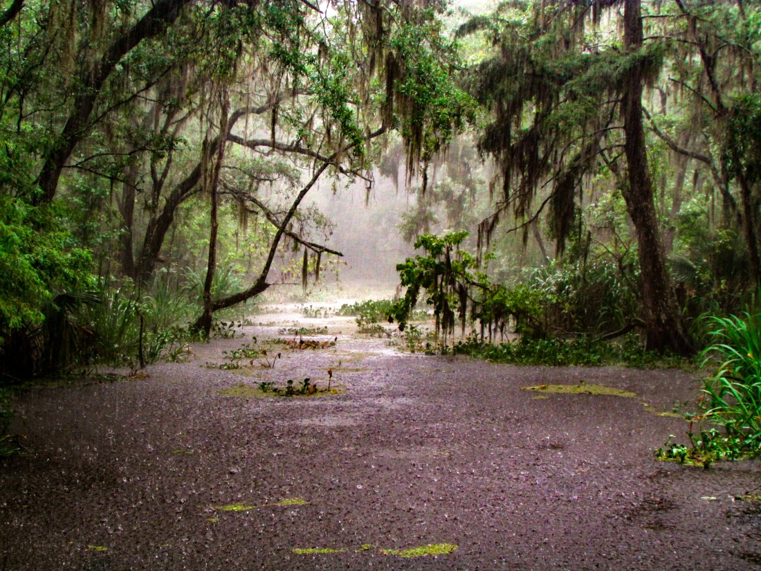 Rain beats down through overhanging trees into the waters of a swamp